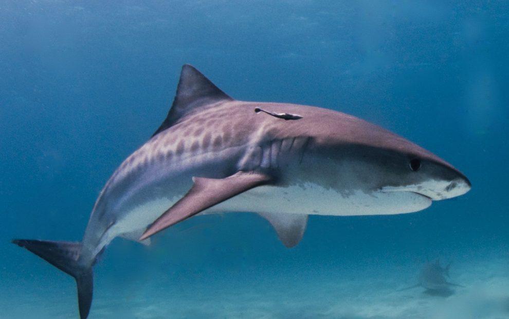 tiger_shark-bahamas