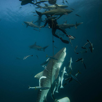 aliwal-dive-baited-shark-diving-002-340x340