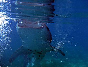 moalboal whale shark