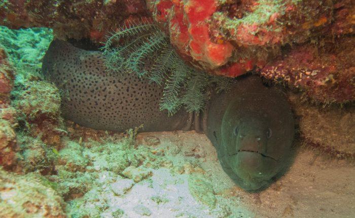 Thailand, Moray eel