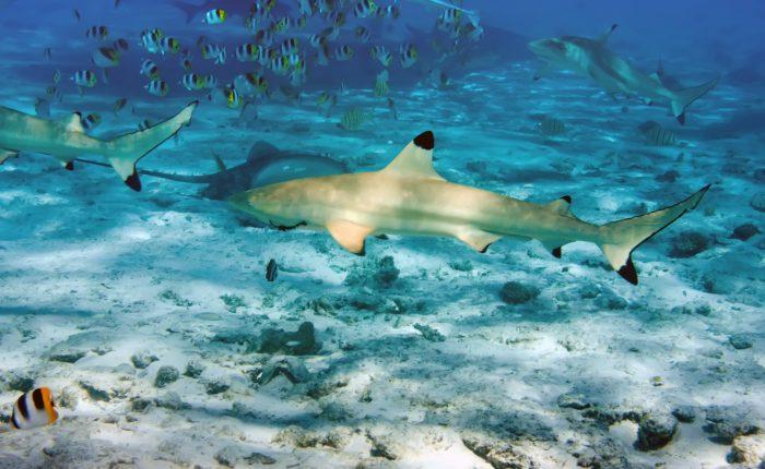 Thailand,Shark