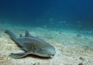 Leopard Shark in the Similan Islands