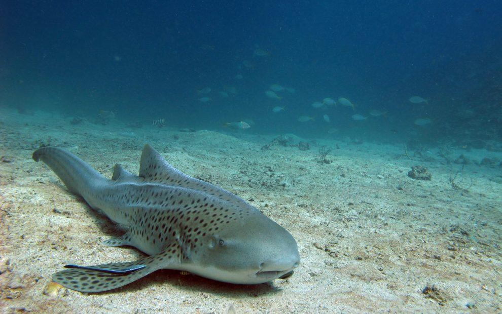 Leopard Shark in the Similan Islands